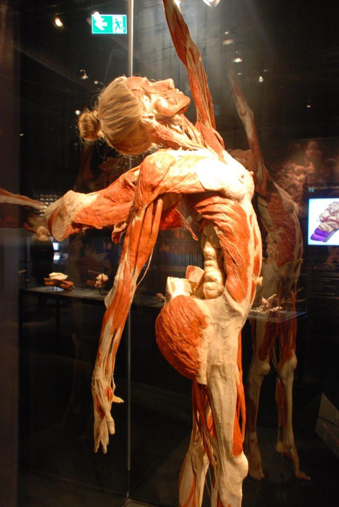 "Plastinatet ""Englen"" i Menschen Museum, Berlin, Tyskland."