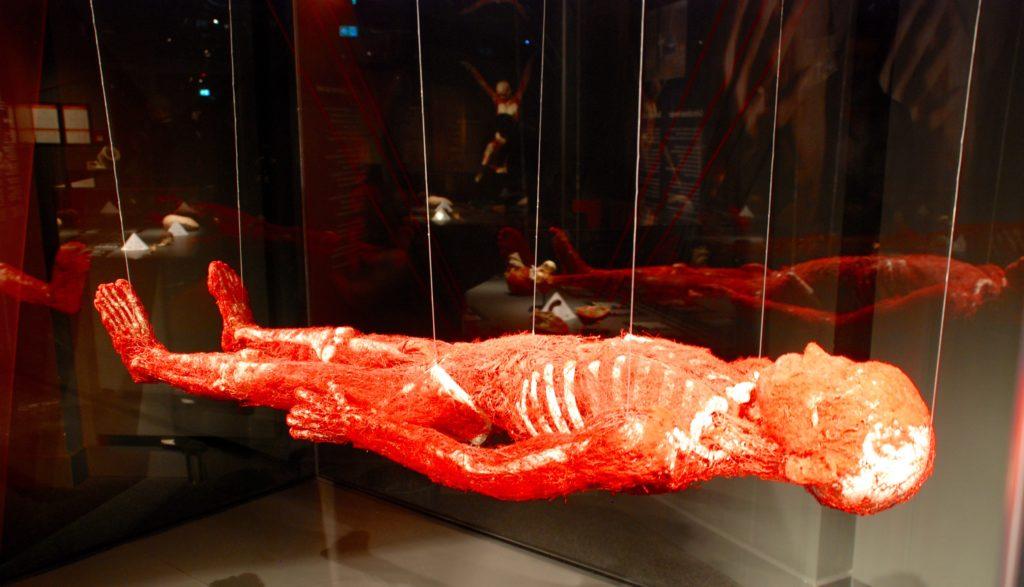 Plastinat med blodårer, Menschen Museum, Berlin, Tyskland.
